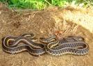 2 Garters by Herpn in Snakes