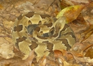 Yellow Phase Timber Rattlesnake by Herpn in Snakes