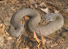 Fat Hognose. by Herpn in Snakes