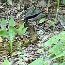 shuckstack resident by gollwoods in Snakes