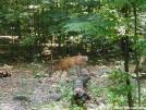Whitetail Deer by backpackingdduo in Deer