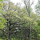 Big Oak by naturegirl in Other Trails