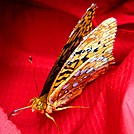 The Great Spangled Fritillary�. With Its Proboscis Extended