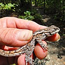 The Eastern Fence Lizard�On the Appalachian Trail�