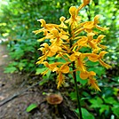 Discovering The Gifts of The Appalachian Trail….Puma Style…Yellow Fringed Orchid (Ciliaris) by Puma Ghostwalker in Flowers
