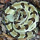 Timber Rattlesnake by Puma Ghostwalker in Snakes