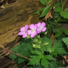 Wild Geranium by Happy Feet in Flowers