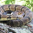 PA Native Timber Rattler by jelloitsalive in Snakes