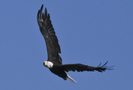 Bald Eagle In Flight by Midway Sam in Birds
