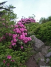 Rhododendron in Full Bloom