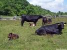 Cattle in Elk Park by Kerosene in Other
