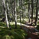 Nice Walking through Pine Forest by Kerosene in Trail & Blazes in Maine