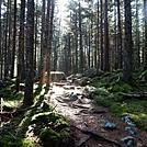 Sunbeams through the Pines