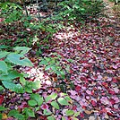 Red Leaf Carpet by Kerosene in Trail & Blazes in Maine