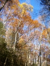 Pretty Stand Of Yellow Poplars by Kerosene in Views in North Carolina & Tennessee