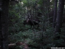 Moose in Maine by -MYST- in Moose