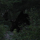 Moose onBond Mountain- NH by Trailrunner2 in Views in New Hampshire