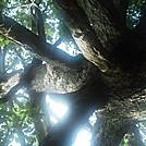 keffer oak by salesman in Thru - Hikers