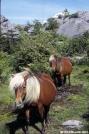 Ponies by Magnet in Wildlife and Flower Galleries