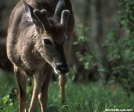 Buck in the Smokies by Magnet in Deer