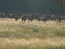 Elk Herd by Lucy Lulu in Continental Divide Trail