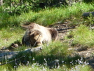 Grizzly Rolling by Lucy Lulu in Bears