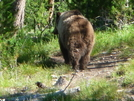 Mr Grizz Headed Up The Trail by Lucy Lulu in Continental Divide Trail