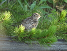 Baby Grouse by Lucy Lulu in Birds