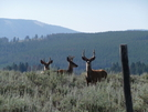 Mule Deer by Lucy Lulu in Continental Divide Trail