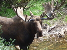 Met Mr. Bullwinkle In Glacier by Lucy Lulu in Continental Divide Trail