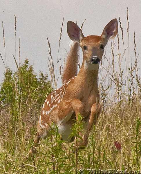 Fawn on the AT over Cold Mtn