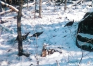 Wild Turkeys by MicahDawgNC in Birds