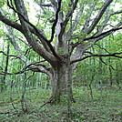 Cool tree! by BeechNut in Views in Virginia & West Virginia
