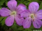 Purple flower by Whistler in Flowers