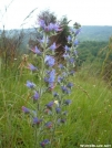 Viper's Bugloss aka Blueweed by Whistler in Flowers