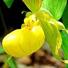 Yellow lady's slipper by Momma Duck in Flowers
