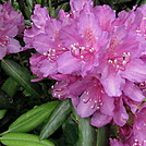 Catawba rhododendron by Momma Duck in Flowers