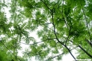 Black Walnut leaf canopy by Groucho in Other