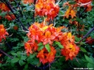 flame azalea on whitetop may  30 by Groucho in Flowers