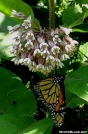 Monarch on Common Milkweed by Groucho in Other