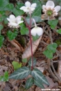 Spotted Wintergreen by Groucho in Flowers