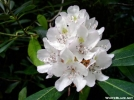 Rosebay Rhododendron by Groucho in Flowers