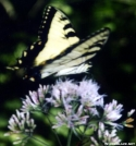 Tiger Swallowtail Butterfly by Groucho in Other