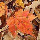 Allegheny Trail - maple leaf