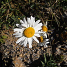 Daisy on Allegheny Trail by Cookerhiker in Other Trails