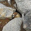 Shy marmot on John Muir Trail by Cookerhiker in Other Trails