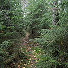 Spruce forest on the Allegheny Trail