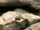 Frog on rocks by Cookerhiker in Other