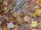 Fungus balls & maple leaves by Cookerhiker in Trail & Blazes in Virginia & West Virginia