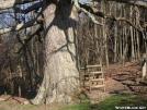 Keffer Oak by Cookerhiker in Trail & Blazes in Virginia & West Virginia
